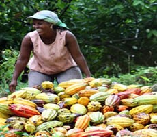 Ghana 2012/13 cocoa crop seen down 5% - COCOBOD