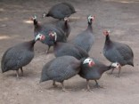 Photo Reporting: Ghanaians Should Be Glad Gov't Is Investing GH¢47m Into Guinea Fowl Business